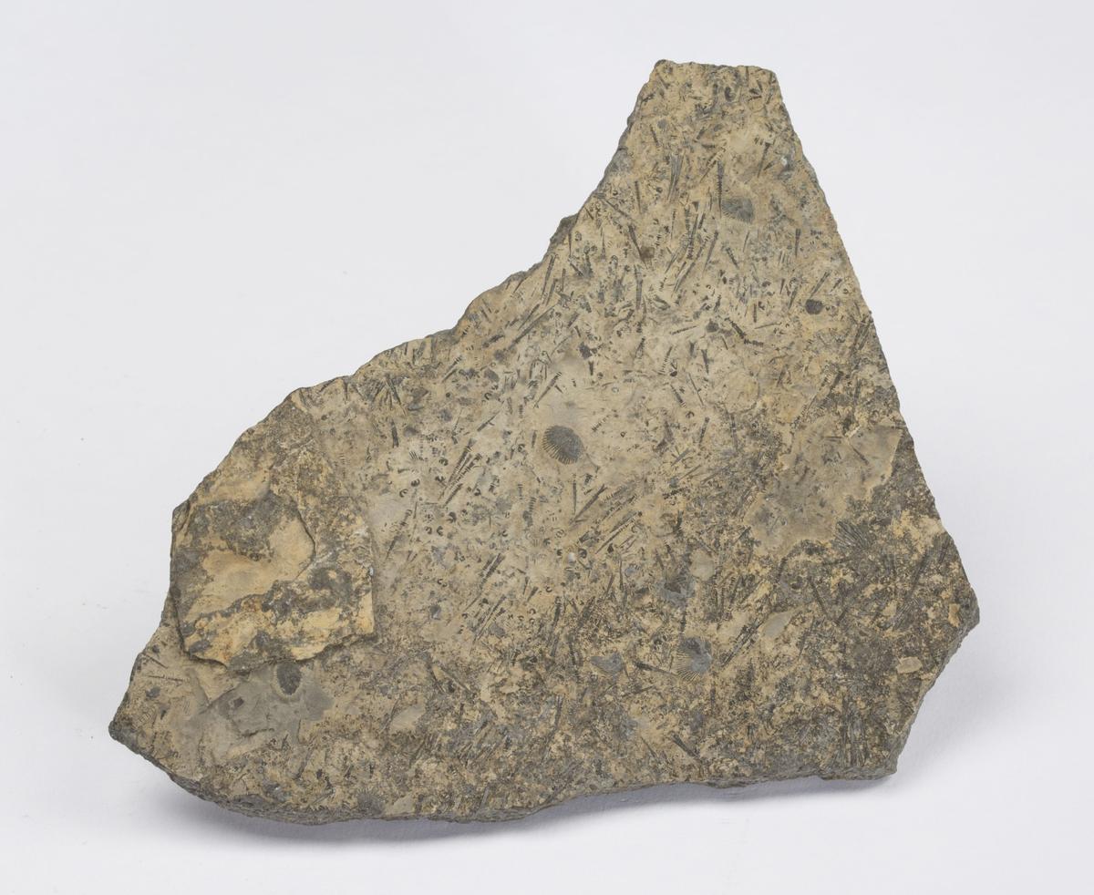 Fossil SNEGLE ?, SILUR