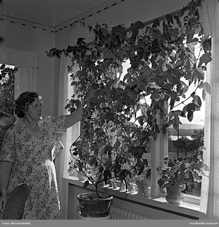 Fru Syster Englund har en stor och vackert blommande passionsblomma i sitt fönster.