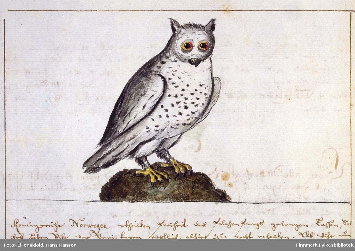 Illustrasjon til beskrivelsen av 'Den huide ugle' - snøugle