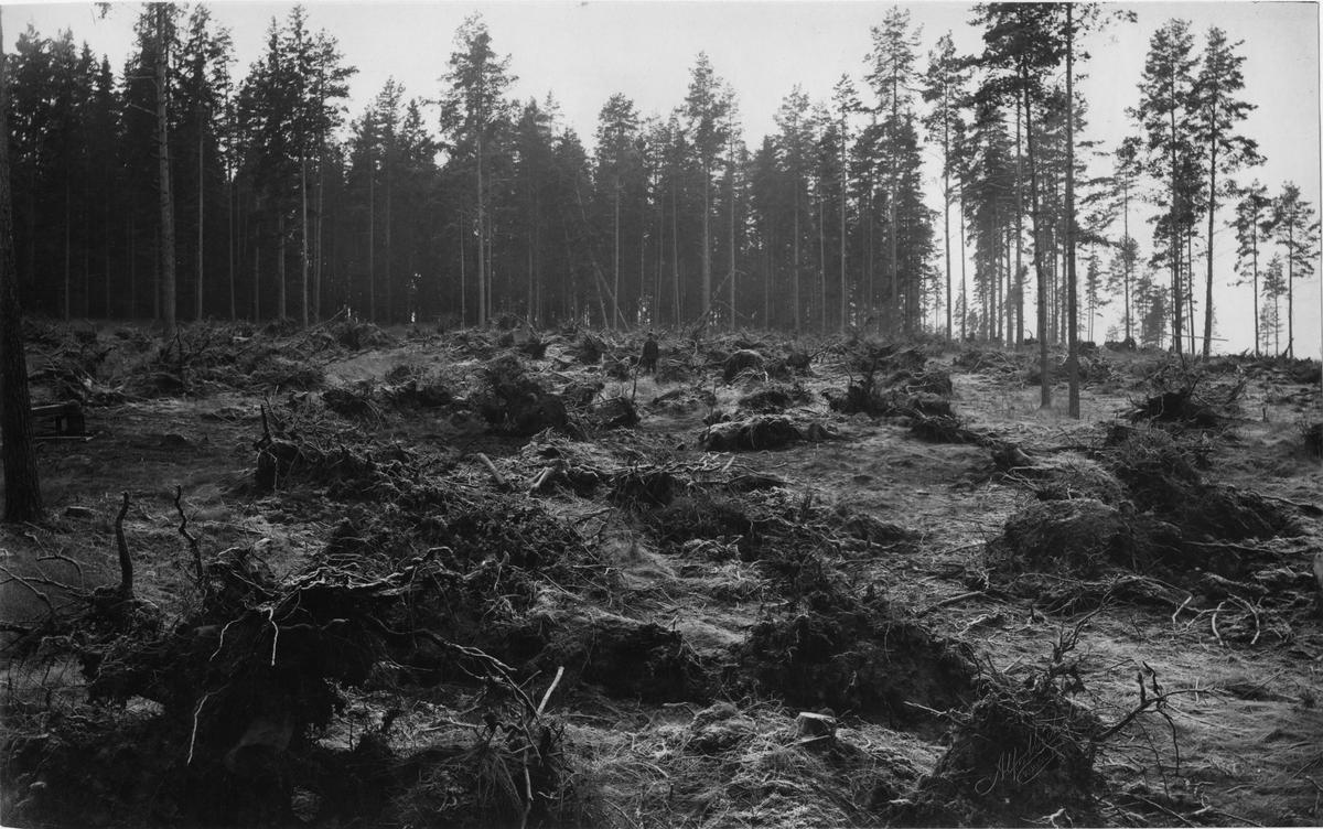 Stubbbrytning vid Guldsmedshyttan, Lindesbergs landsförsamling, Västmanland.