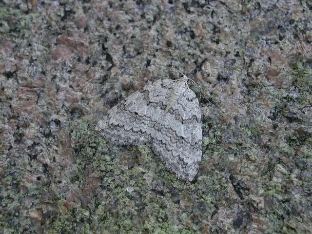 Foto av sommerfugle bjørkemåler som sitter på en bjørk