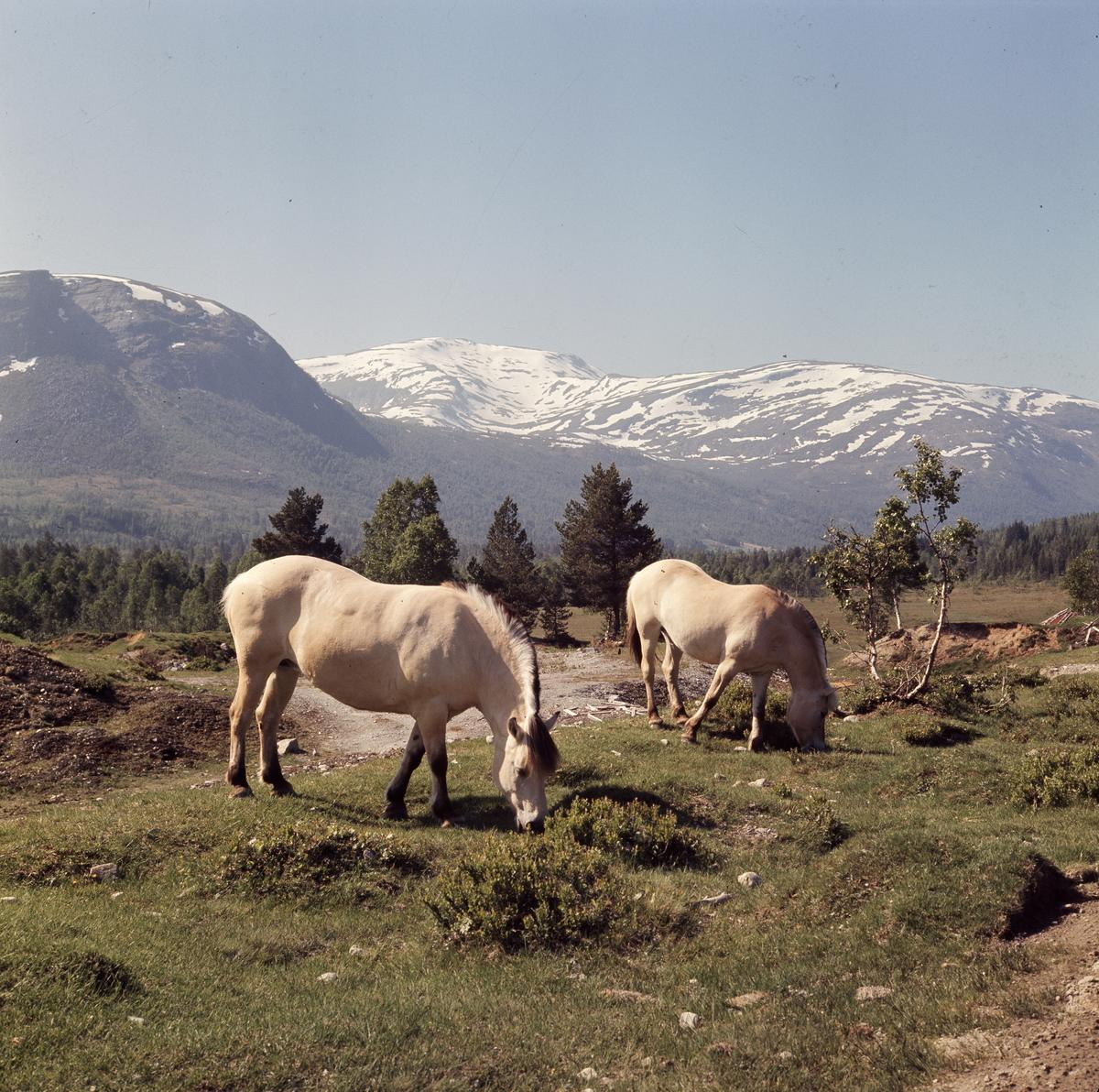 Fjordinger på beite Hornindal. Juni 1970. 70-6-19/4.