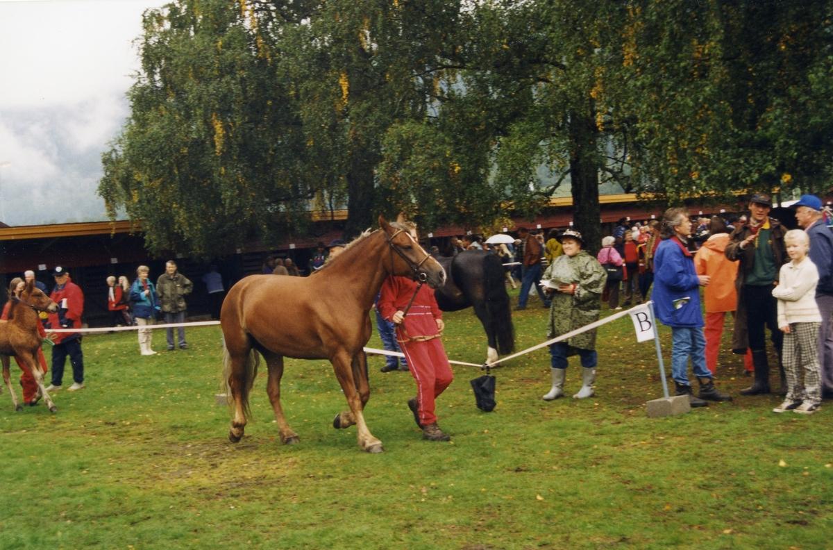 Dømming av hest