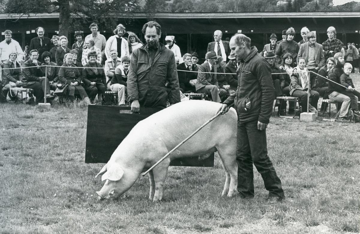 Jonas Undem mønstrar gris.