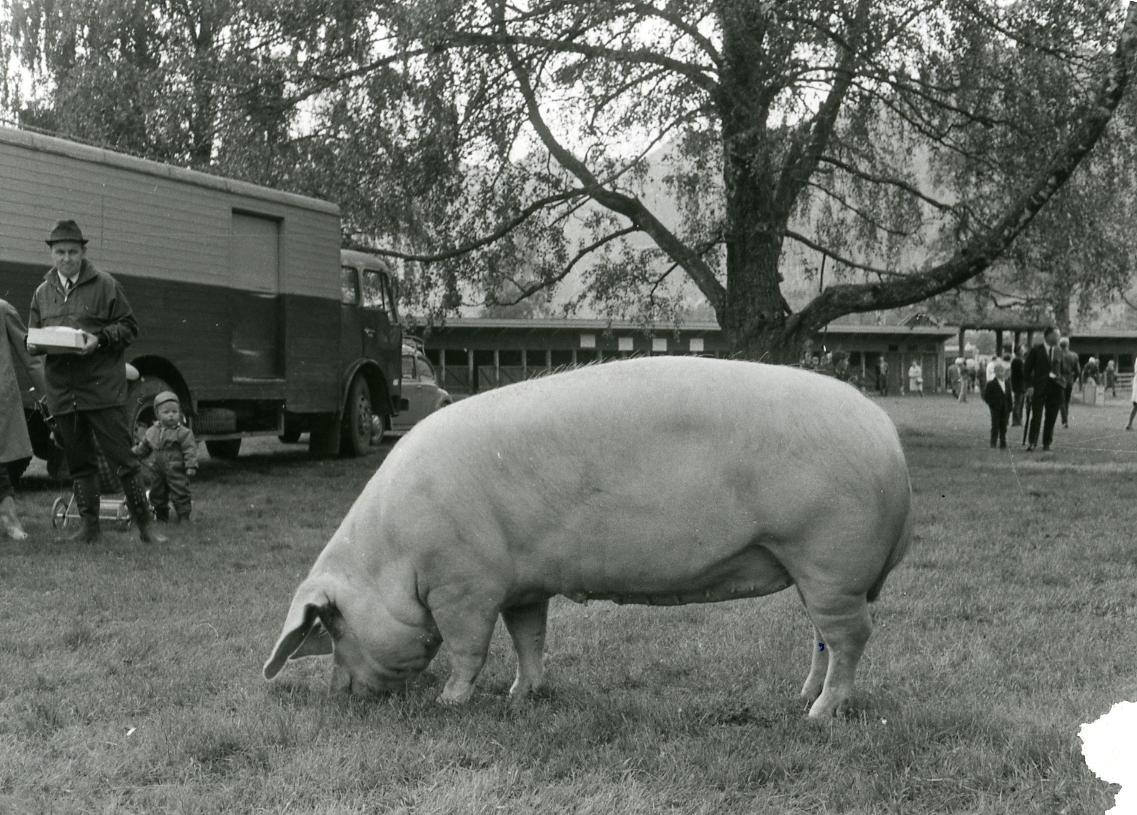 Foldsæ Landbruksskule mønstrar grisen 923 Foldsæ (44).