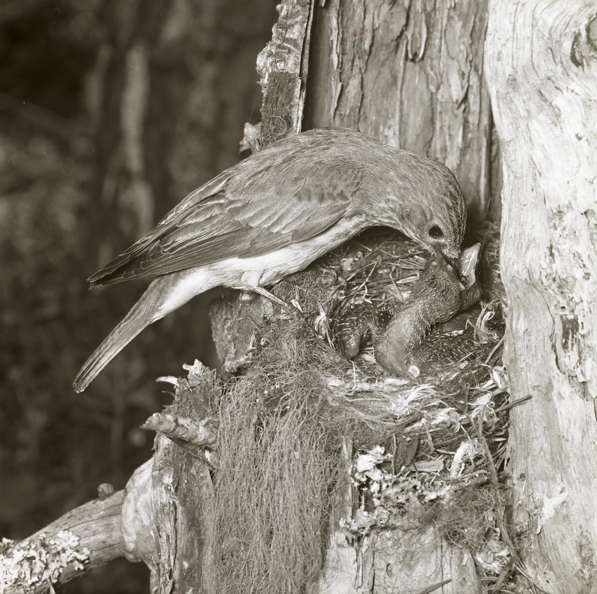 En fågelhona har landat vid sitt bo och har i sin näbb mat till gökungen. Honan släpper maten direkt i ungens näbb. Bilden fångas av fotograf Hilding Mickelsson sommaren 1961.
