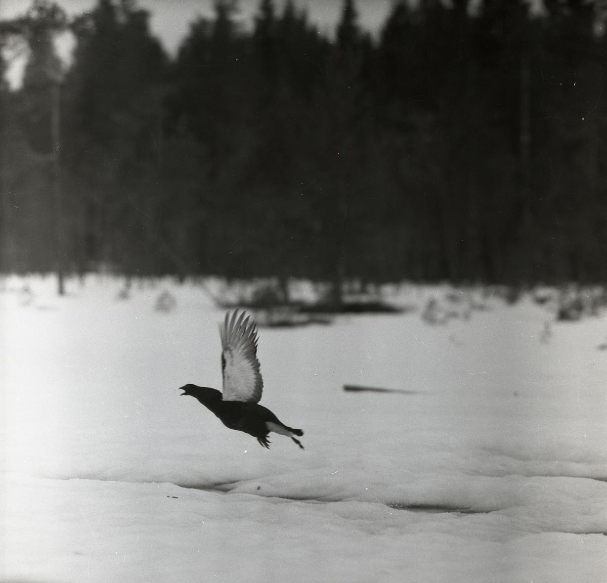 En fågel har precis lyft från marken och flyger ännu nära snön. Vingarna är helt utsträckta ovanför kroppen och orrens näbb är öppen. Bakom det snötäckta fältet skymtar en suddig  skog av barrträd förbi.