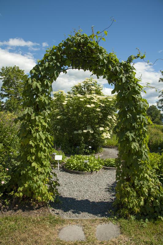 Bueinngang til hagen; bevokst med humleplanter.