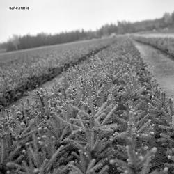 Planteseng ved Furusmo planeskole ved Gardermoen i Ullensake
