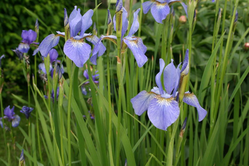 Sibiriris/Iris sibirica (Foto/Photo)
