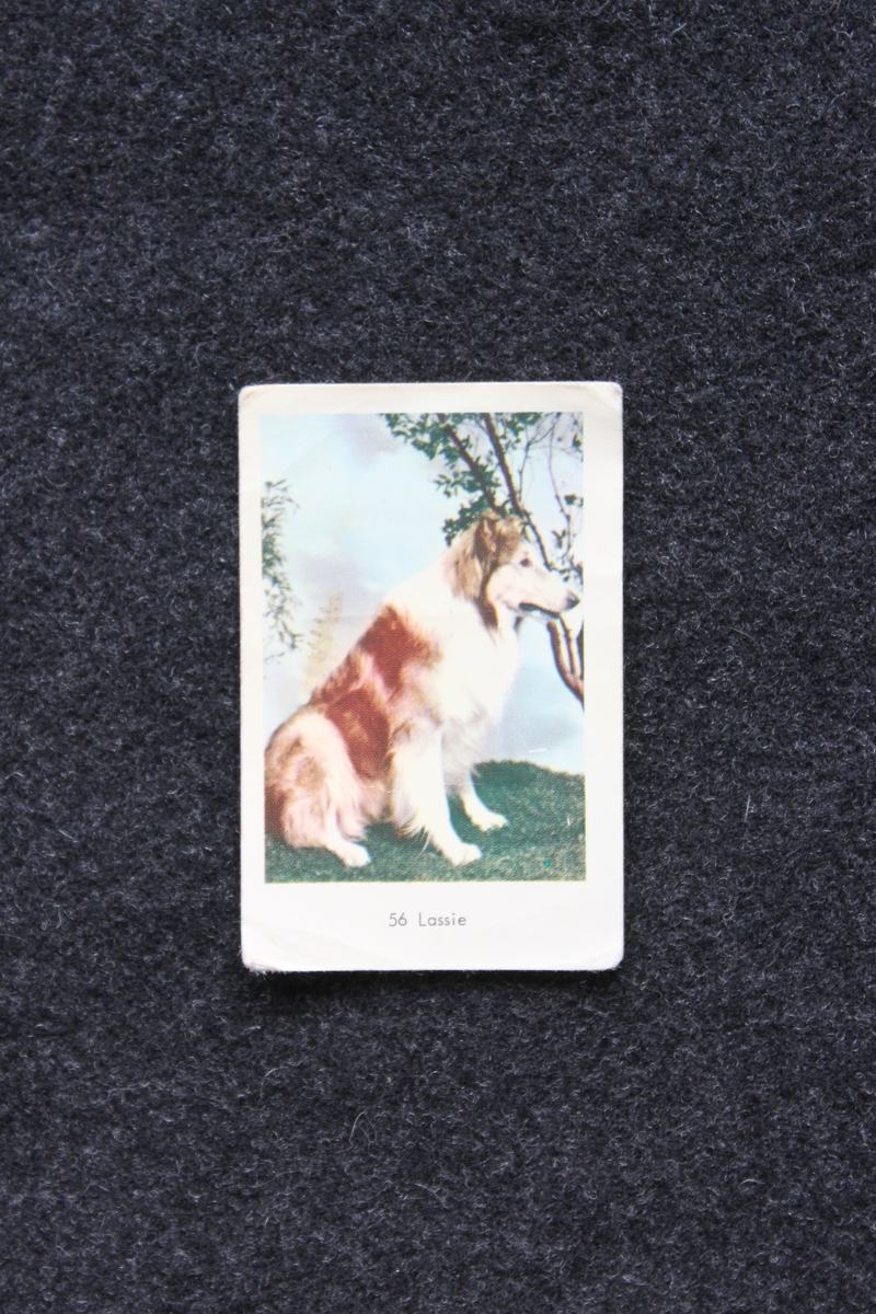 Filmstjärnebild med foto föreställande hunden Lassie