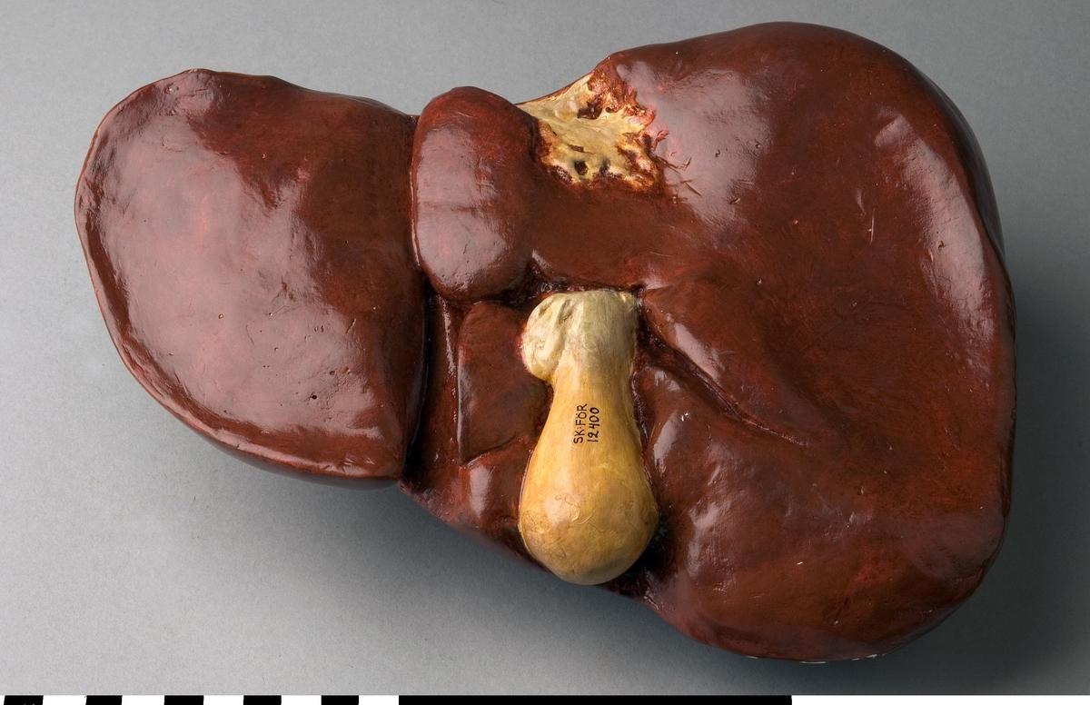 """Organmodell av en frisk lever för undervisning. Tillverkad av gips och realistiskt målad. Försedd med en liten lapp av papper med text. """"Frisk lever"""". Del av en samling organ i en trälåda."""