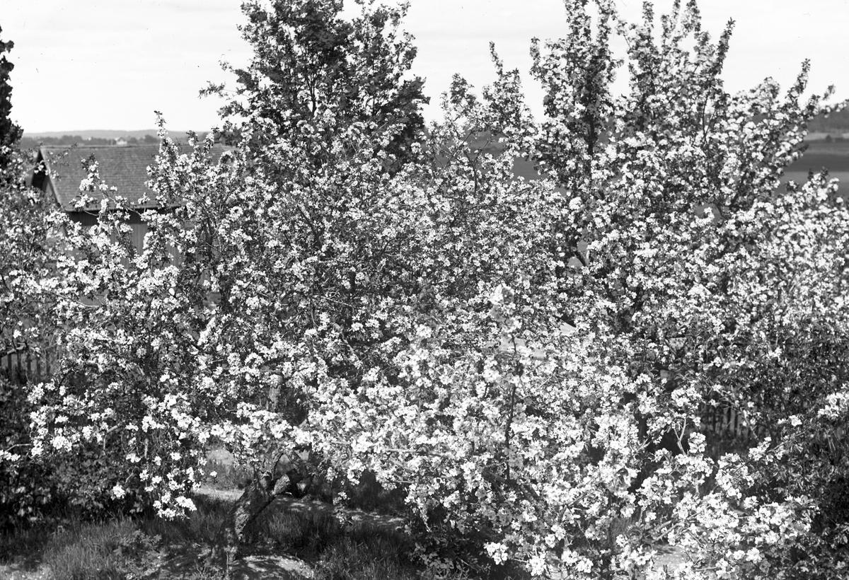 """Äppelblom i trädgården. """"Erik-Lars"""", Wästra Hästbo"""