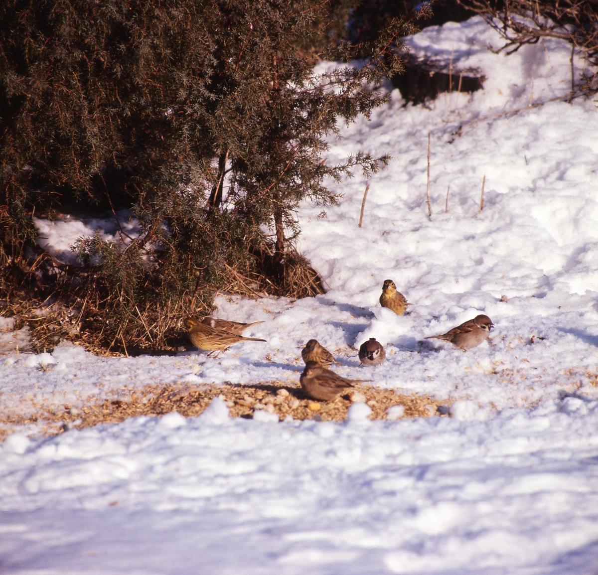 En grupp småfåglar sitter i snön och äter frön i skydd av enbuskar.
