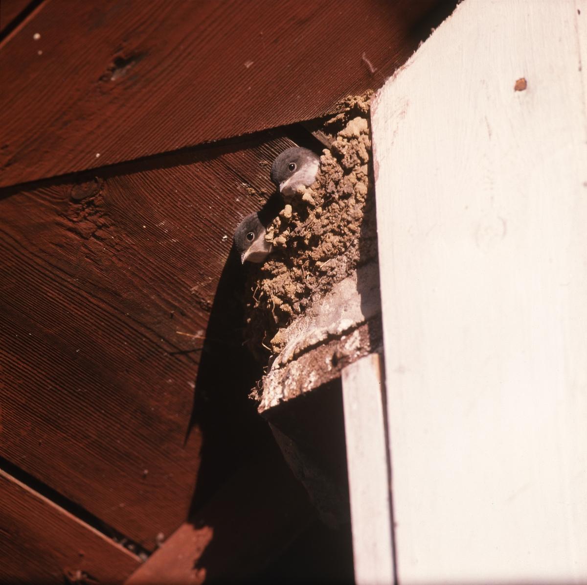 Två svalor tittar ut ur sitt bo vid en trävägg under ett tak.