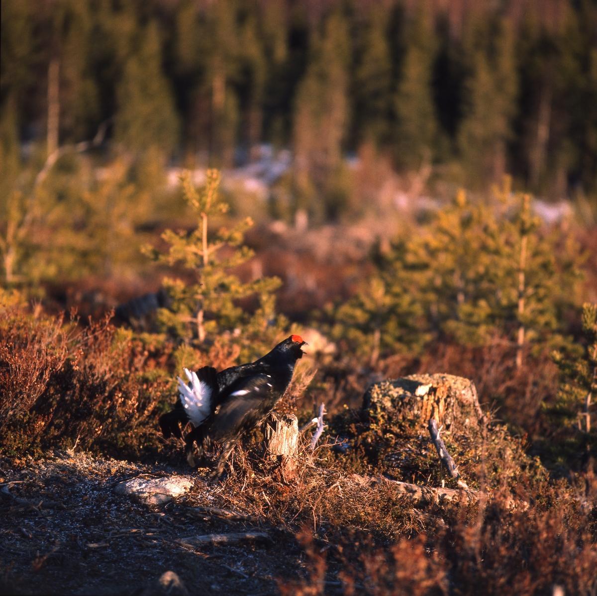 Orrtupp på marken på ett karlhygge i skogen.