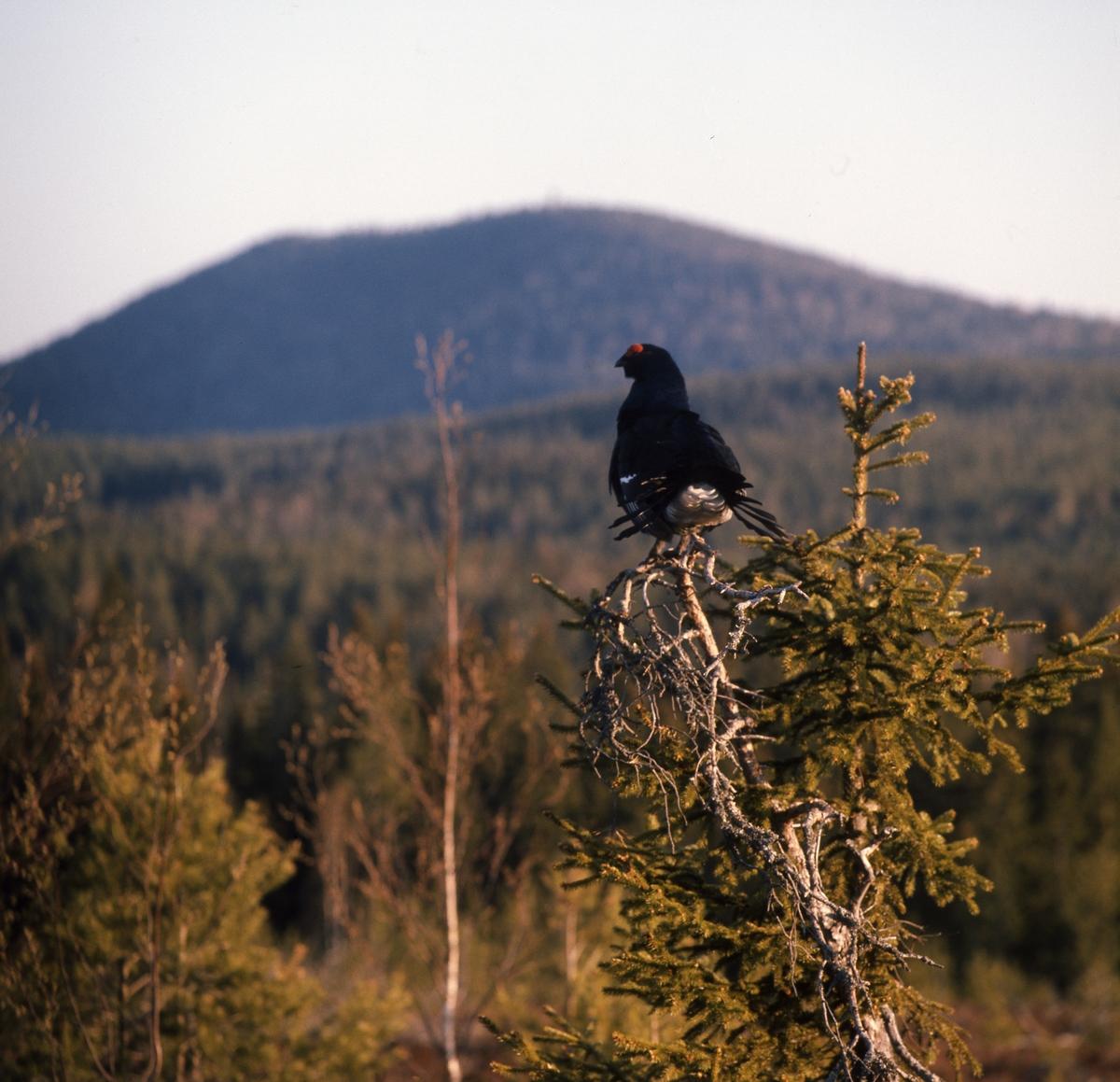 Orrtupp sitter i en torraka på en höjd i skogen. Svag sol över landskapet.