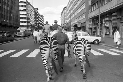 Cirkus Berny har dyreparade, med hester, sebraer og elefanter, gjennom Oslo. Fotografert august 1968.