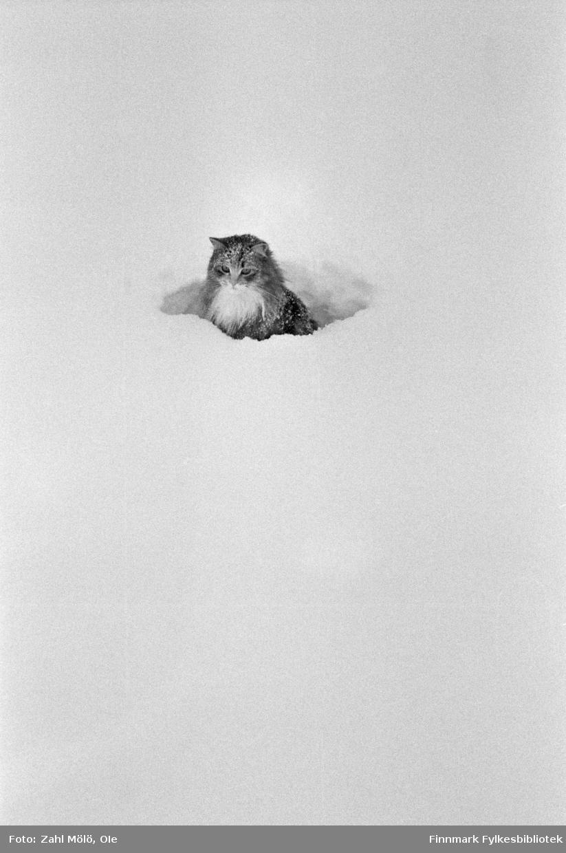 Fotoserie av fotograf Ole Zahl Mölö.  Skogskatt i snøen. Ole Zahl Mölö, også kjent som Zahl Møller under hans tid i Vadsø – med kunstnernavnet OZAM – er født 8.juli i 1937, i Vadsø. Fotoarkivet har ca. 7500 negativer av Ole Zahl Mölös arbeider i sin samling. Bildematerialet inneholder motiv fra Vadsøs lokalmiljø og gjenspeiler hans hverdagsliv i byen og bymiljøet i vekst på 1960-70-tallet.