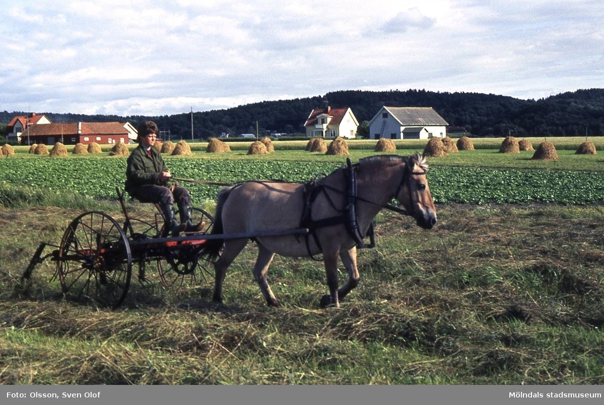 Mellangården 2 i Fässberg, Mölndal, år 1981. Anita Tallstedt, gift Ahlstrand, vänder hö med hästen Tova.