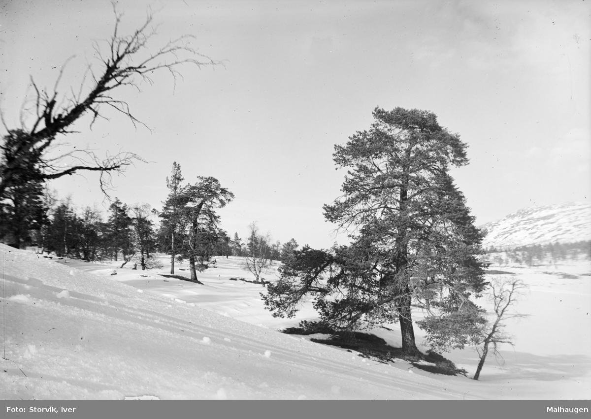 Fjellandskap med snø og furu