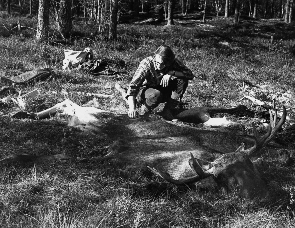 Preparant (taksidermist) Per [Harald] Lynne med skinnet og hodet av en elgokse jegeren Hans Berger hadde felt ved Søndre Lemtjern i Slemdalen i Åmot i Østerdalen på ettermiddagen den 2. oktober 1971.  Dyret ble flådd under ledelse av Lynne påfølgende dag.  Elgoksen skulle stoppes ut for utstilling i Norsk Skogbruksmuseums nybygg i Elverum.  Da dette fotografiet ble tatt hadde preparanten lagt elgskinnet med hårsida opp på grasmarka.  Han sitter på huk, kledd i beavernylonbukser og rutete skjorte. Elgjakt. Storviltjakt. Jeger.  Beskrivelse av jakta der Hans Berger skjøt den avbildete elgen, og litt om prosessen som førte til at den i utstoppet form ble en attraksjon ved Norsk Skogmuseum, finnes under fanen «Andre opplysninger».