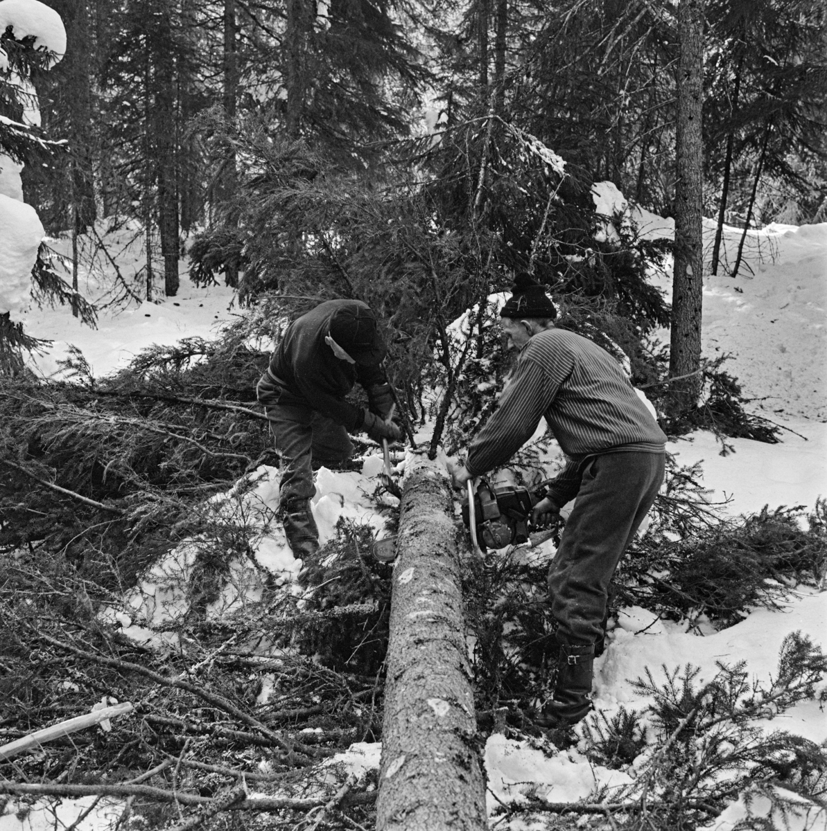 Kvisting og aptering av et grantre som var felt på snødekt mark, antakelig i 1969.  Treet er kvistet fra rota og et stykke oppover.  Deretter vurderte karene kvaliteten og dimensjonen på trestammen for å ta stilling til hvilket sortiment det var rimelig å klassifisere den i.  Deretter målte de ut en høvelig kappelengde i tråd med skogeierforeningens kappetabell, slik at skogeieren fikk en optimal pris for stokken.  Deretter kappet mannen til høyre treet med motorsaga si.  Han kapper ovenfra og nedover med tilnærmet horisontalstilt sverd.  Så snart han merker tegn til at treet bender nedover må han løfte sverdet og gjøre et snitt fra undersida, ellers kan saga lett kile seg fast.  Mens den ene skogsarbeideren saget fortsatte arbeidskameraten (til venstre i bildet) å kviste med øks oppover mot toppen.  De tidlige motorsagmodellene hadde ikke membranforgasser og kunne derfor ikke brukes i de varierte arbeidsstillingene kvistinga innebar uten at motoren ble «kvalt».