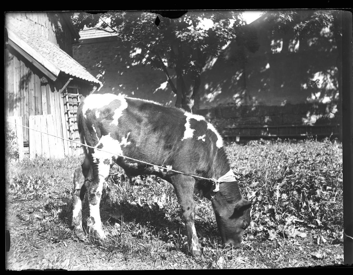 """En fastbunden kalv betar och i bakgrunden syns en mur och en del av ett hus. I fotografens egna anteckningar står det """"Stutapelle""""."""