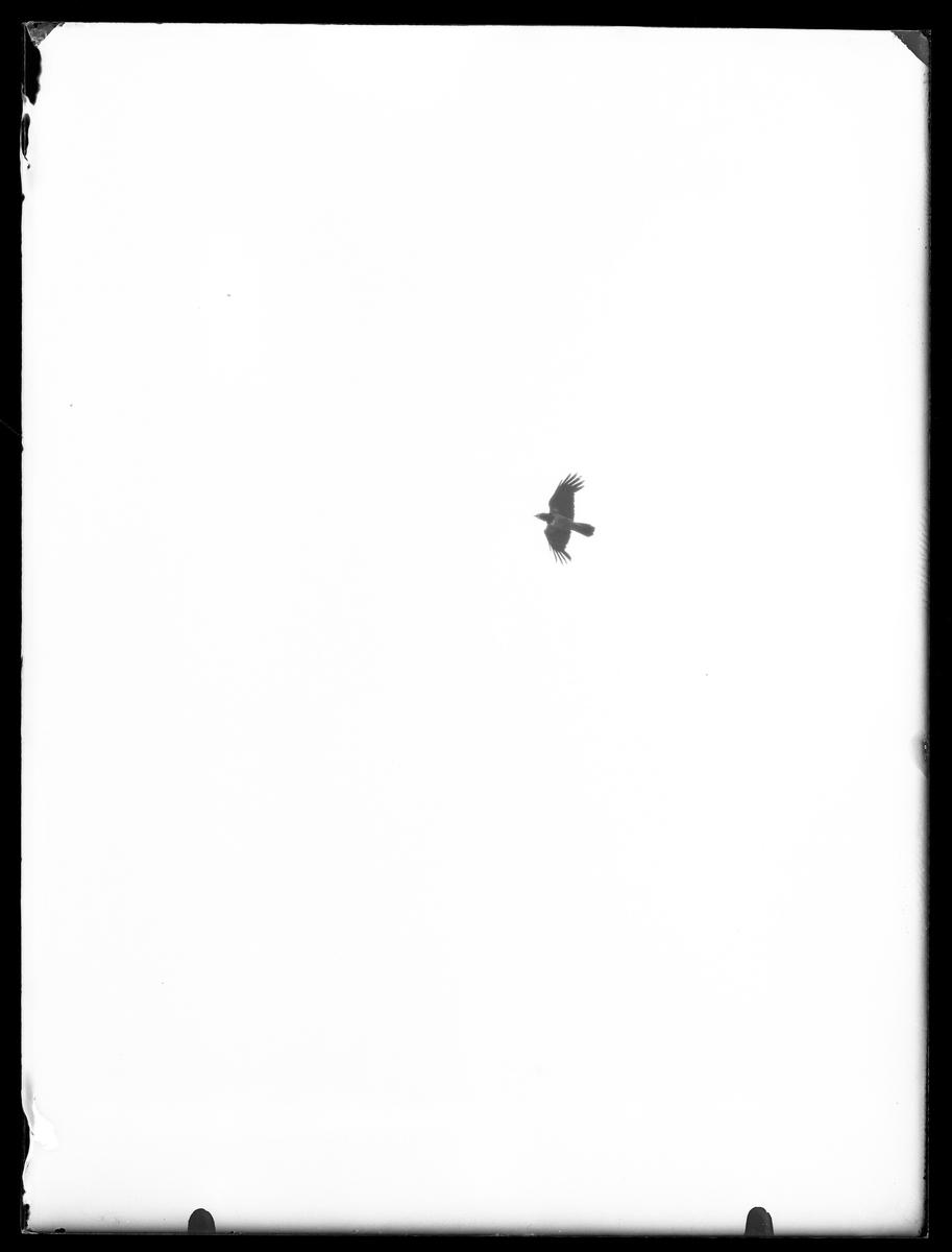 Flygande kråka fotograferad underifrån.