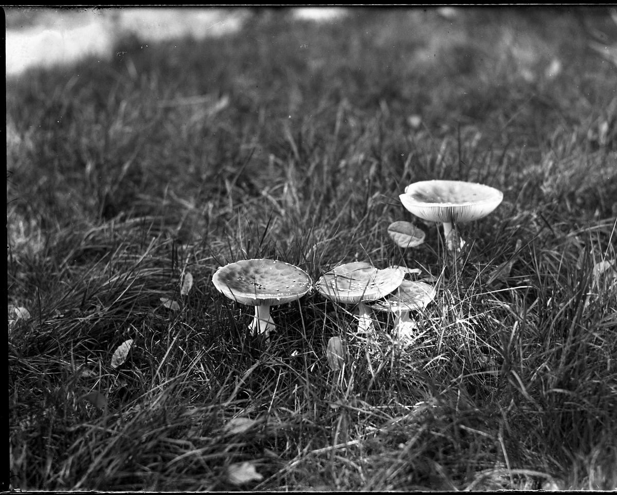 Ett antal flugsvampar i gräset.