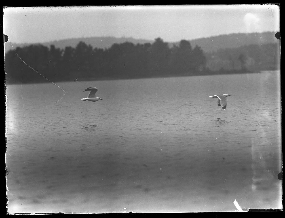 Två måsar flyger över en sjö.