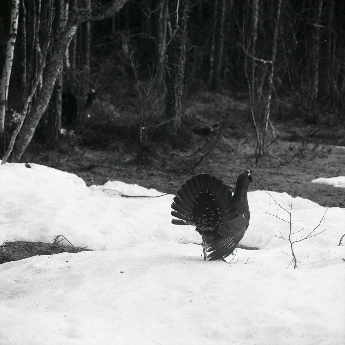 En spelande tjädertupp vid Häggtjärn våren 1975. Tjädern står på den snö som ligger kvar.