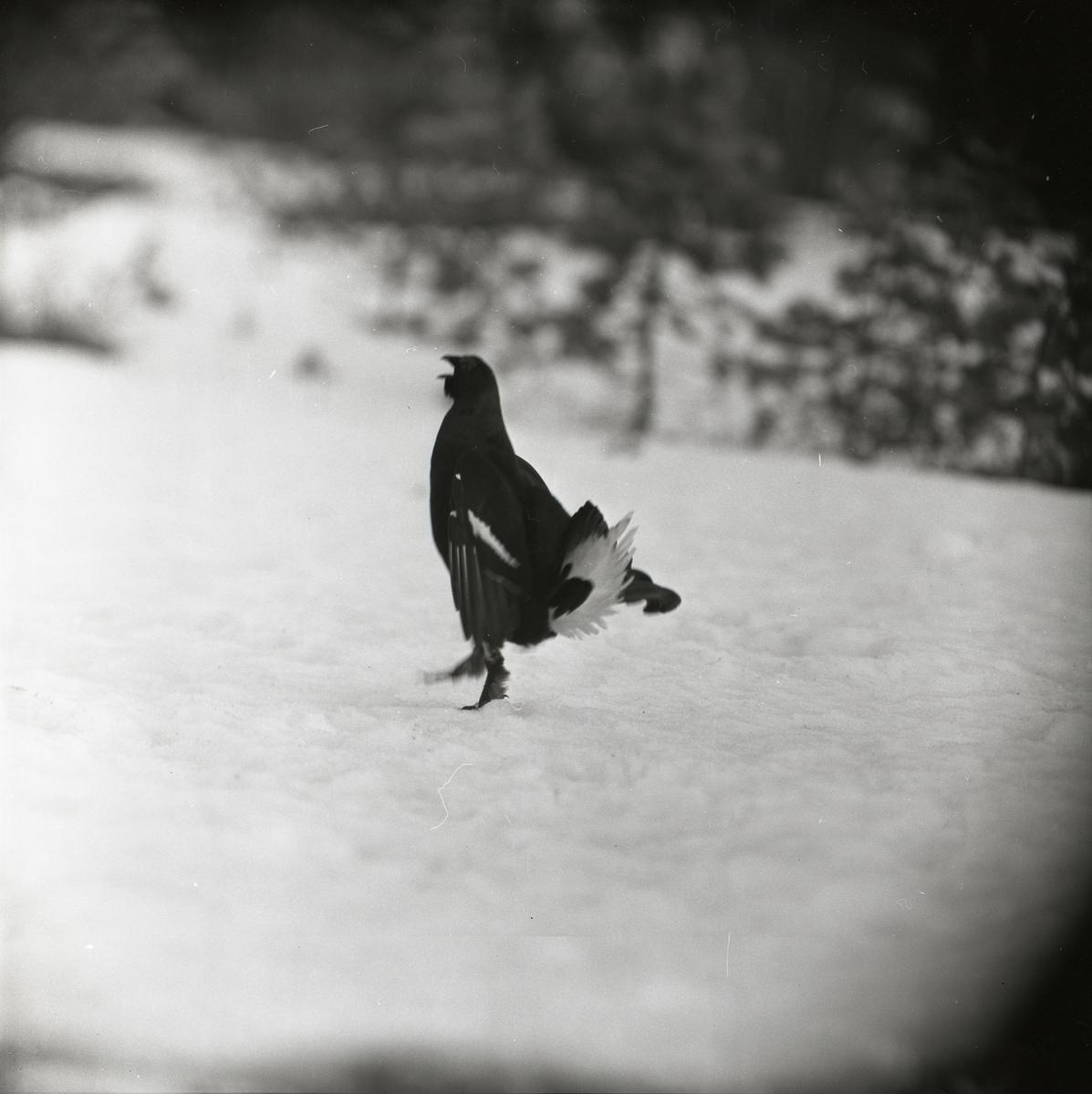 En orre står på snötäckt mark, 1961.