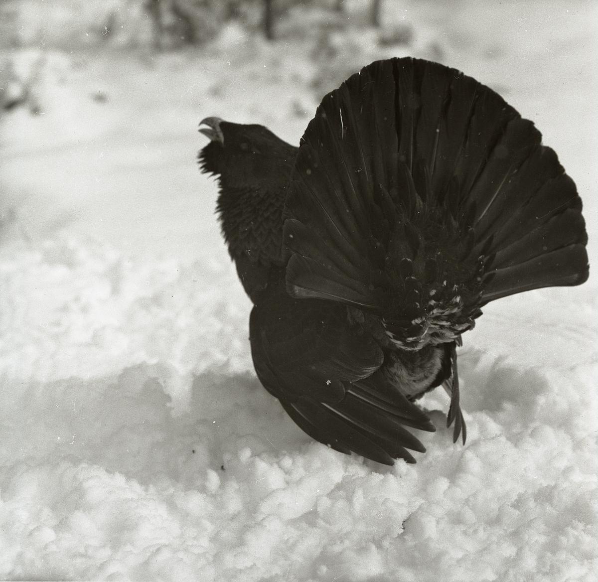 En tjäder står i snö i Björktjära den 14 april 1956.
