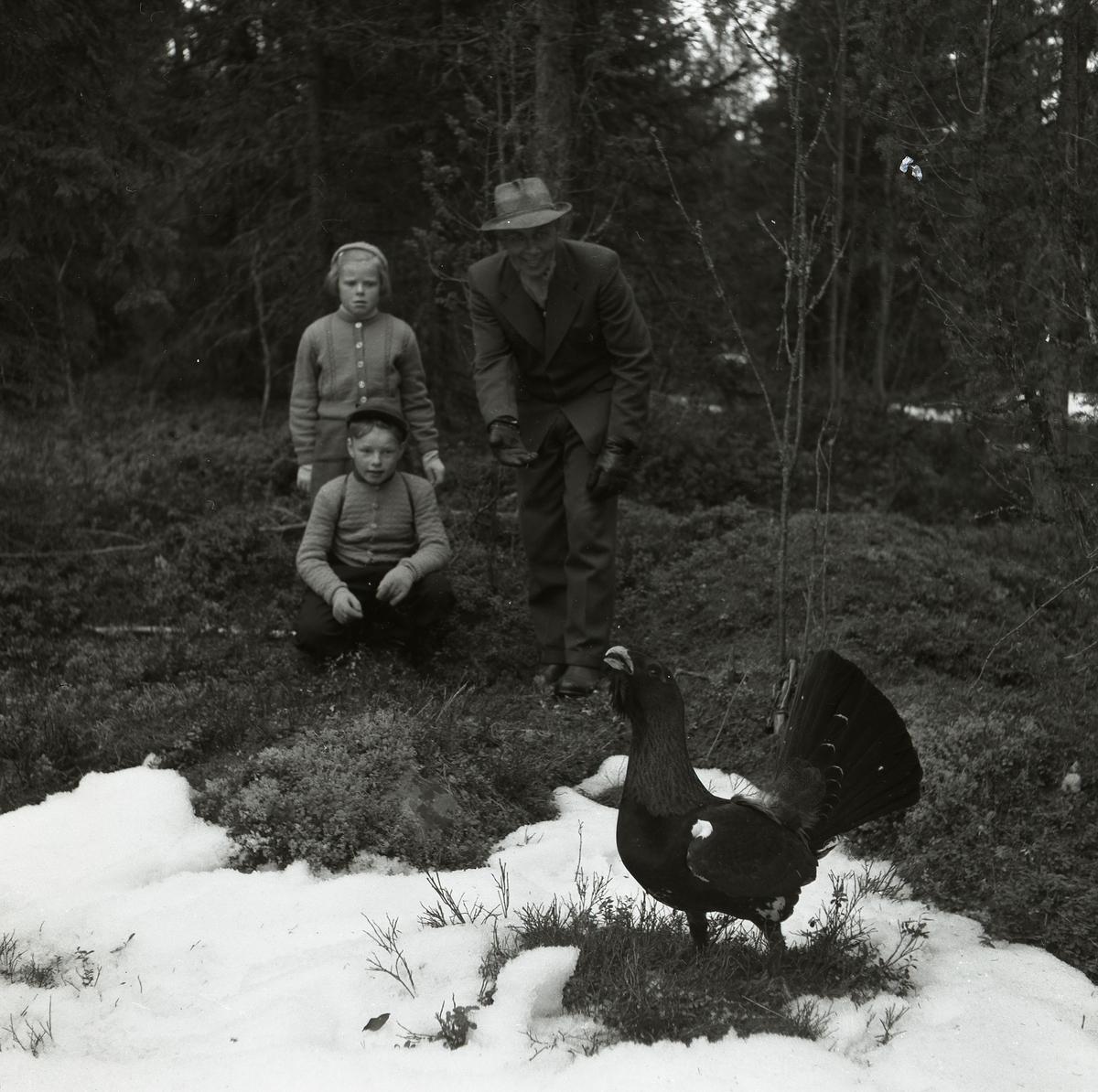 En man och två barn står i skogen och tittar på en tjäder 1954.