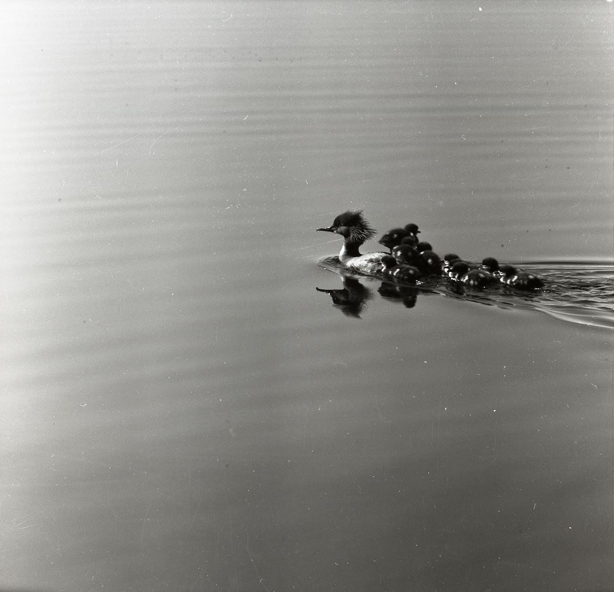 En sjöfågel simmar med ungar  på ryggen.