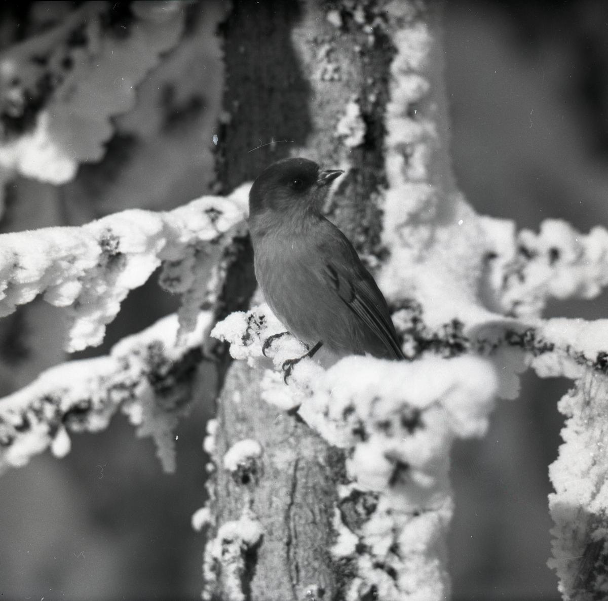 En lavskrika sitter på en snöig gren i Nybodarna den 10-11 februari 1955.