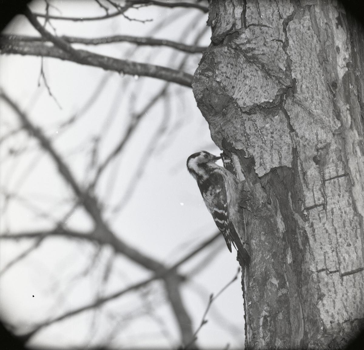 En större hackspett sitter och hackar med näbben i ett träd under vintern 1961-1962.