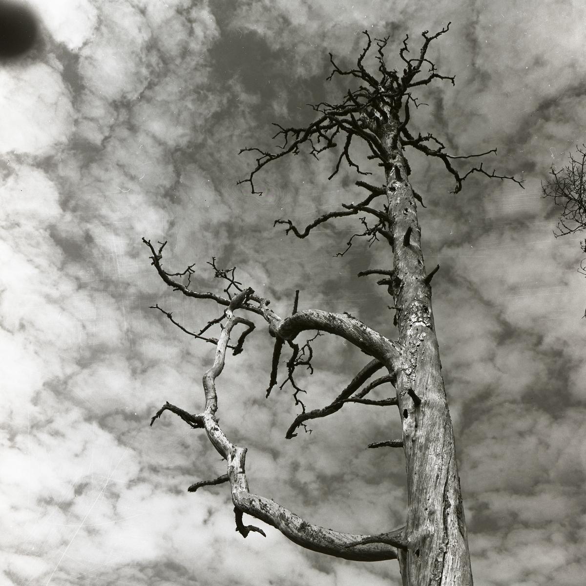 Ett dött och kalt träd, så kallad torrake, på Skogsberget i maj 1956.