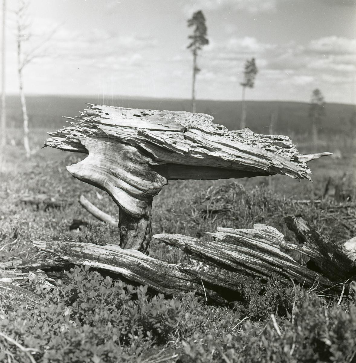 En förkolnad stubbe på ett nedbrunnet hygge i Transtrand, 1964.