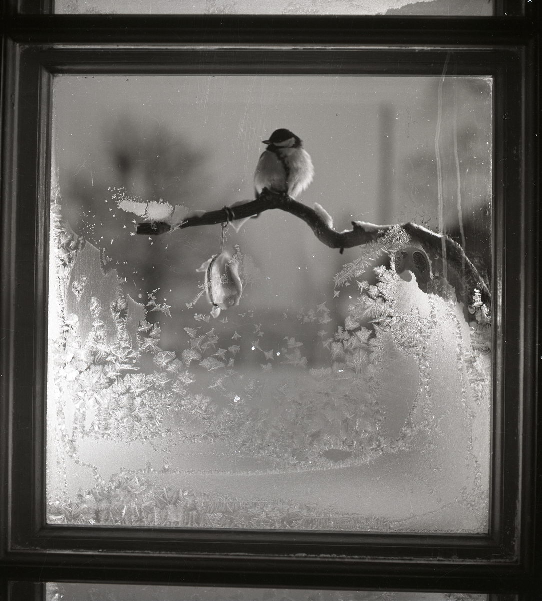 En talgoxe sitter på en gren utanför en fönsterruta delvis täckt med rimfrost, 1950.