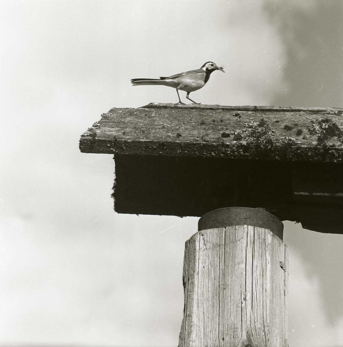 En sädesärla sitter på ett tak och spelar vid norrboån, 1965.
