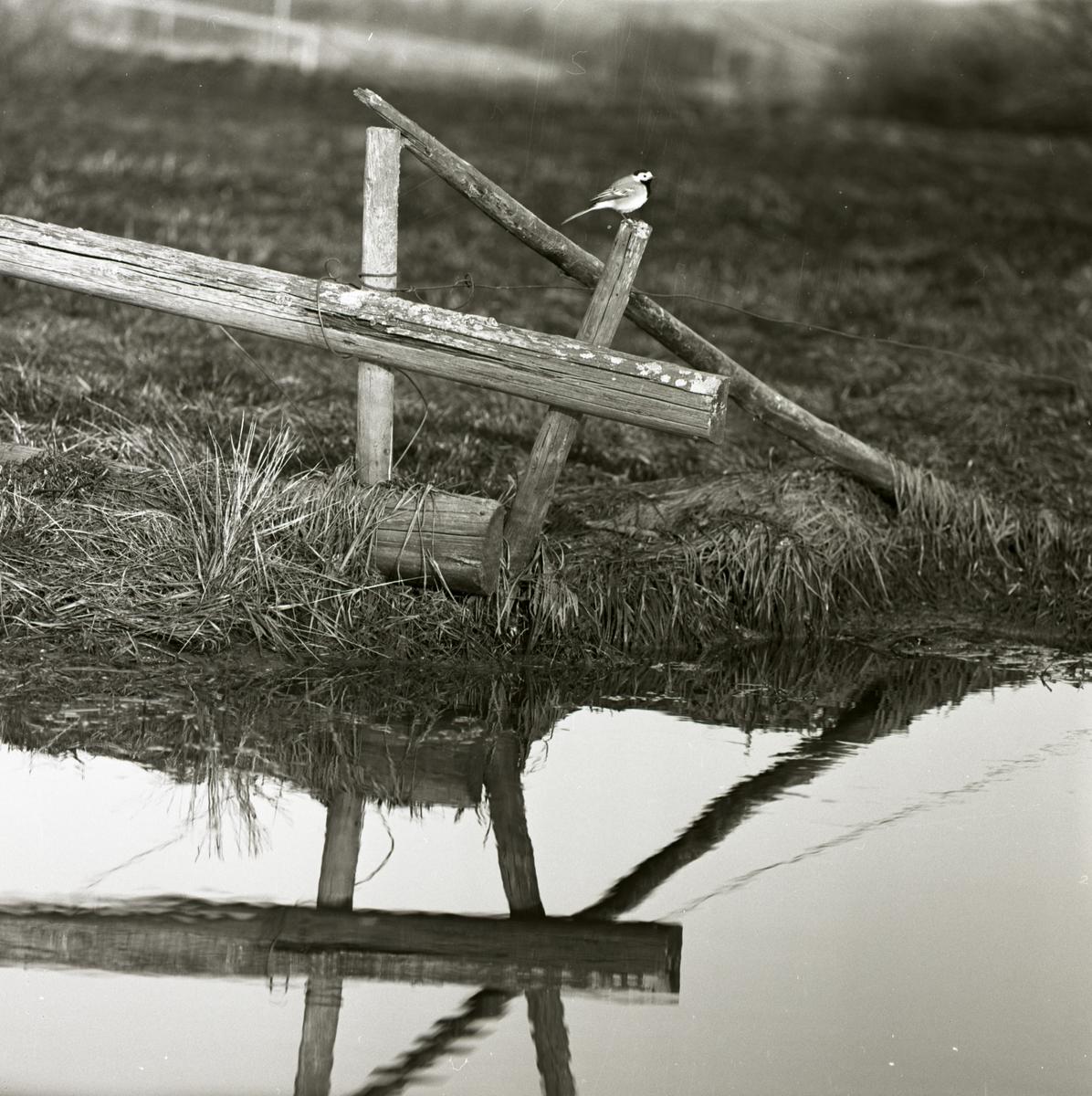 En sädesärla sitter på en stolpe intill ett vattendrag, våren 1961.