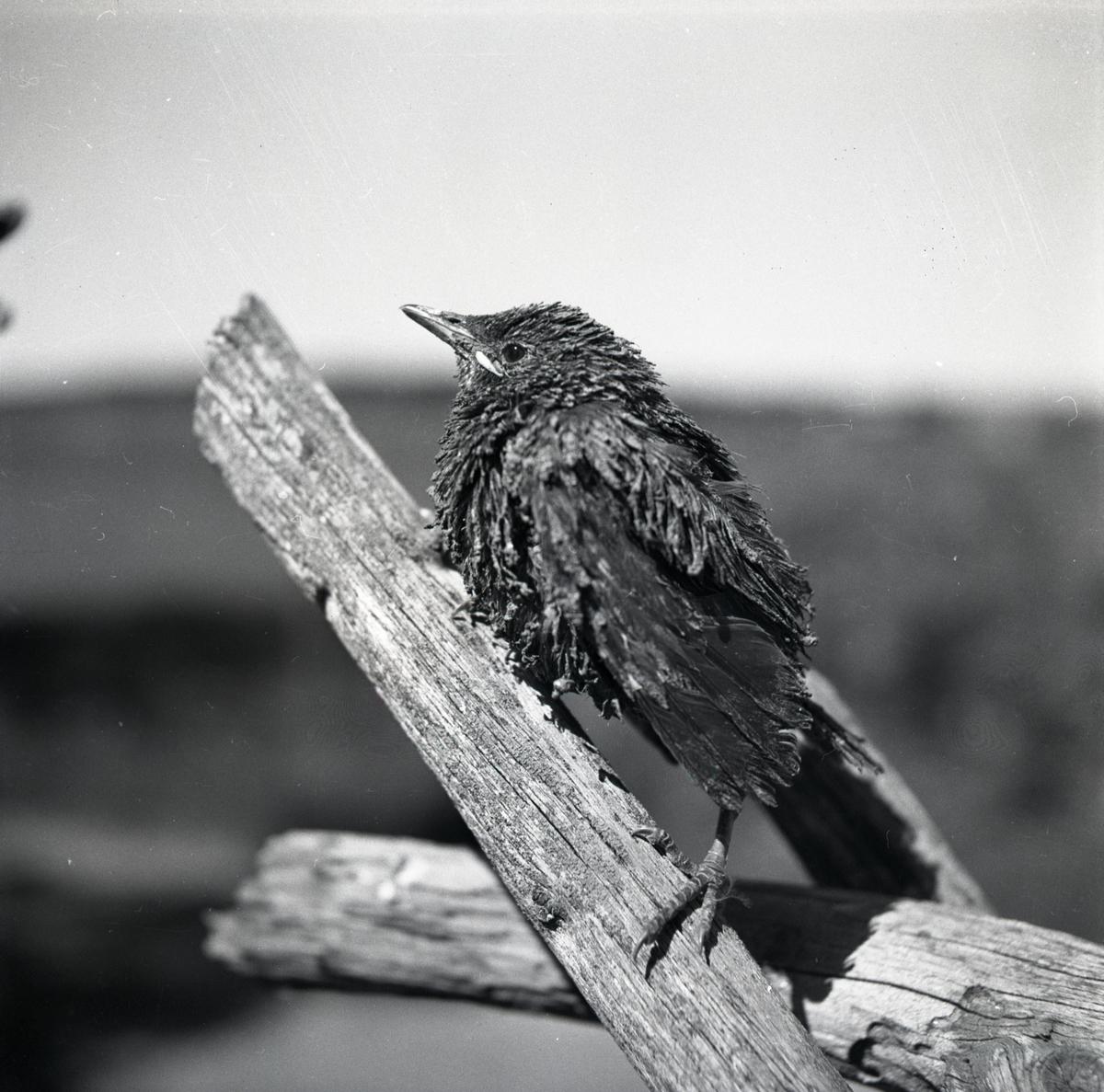 En starunge sitter på en gärdesgård, 11 september 1951.