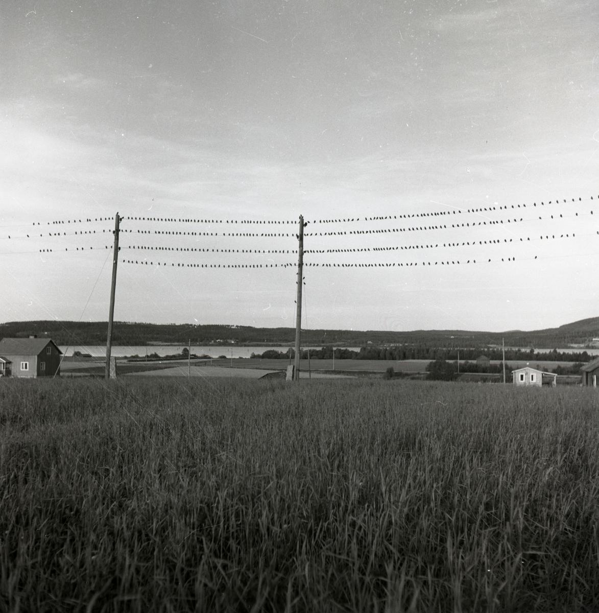 Höstflyttande starar har samlat sig på elledningar i Arbrå, september 1951.