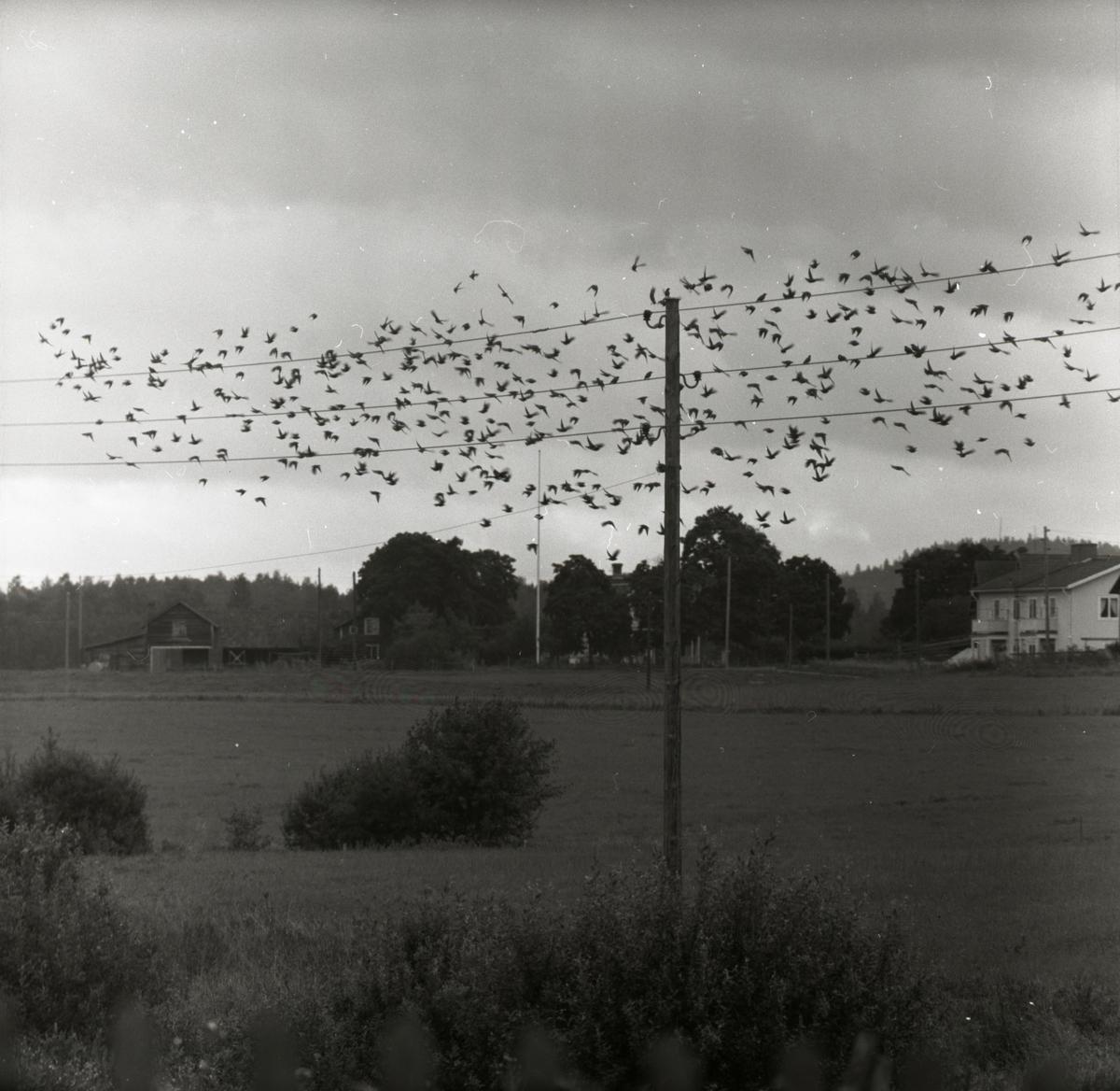 En flock starar flyger upp från en elledning, augusti 1957.