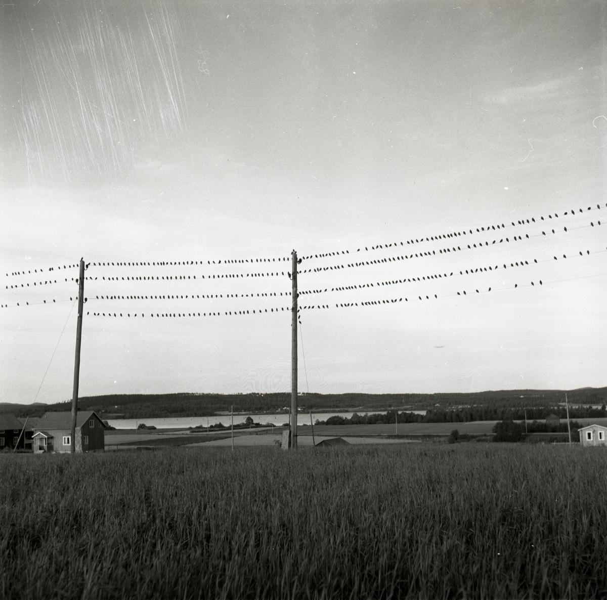 En starflock har samlats på några elledningar i Arbrå, augusti 1957.