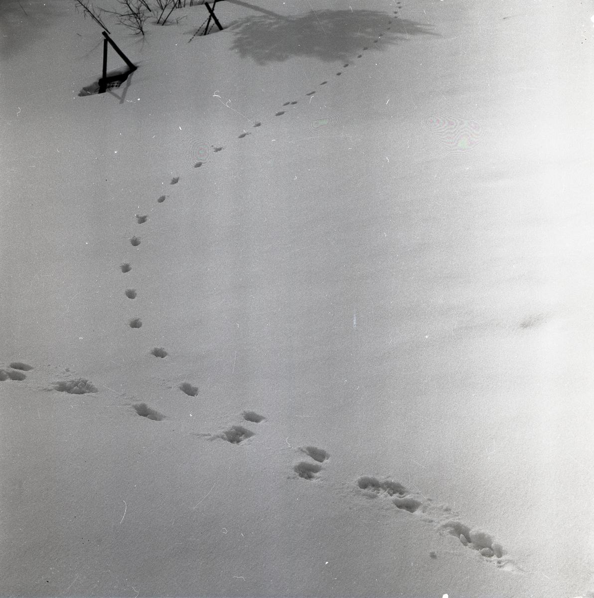 Rävspår i snön, 7 april 1956.