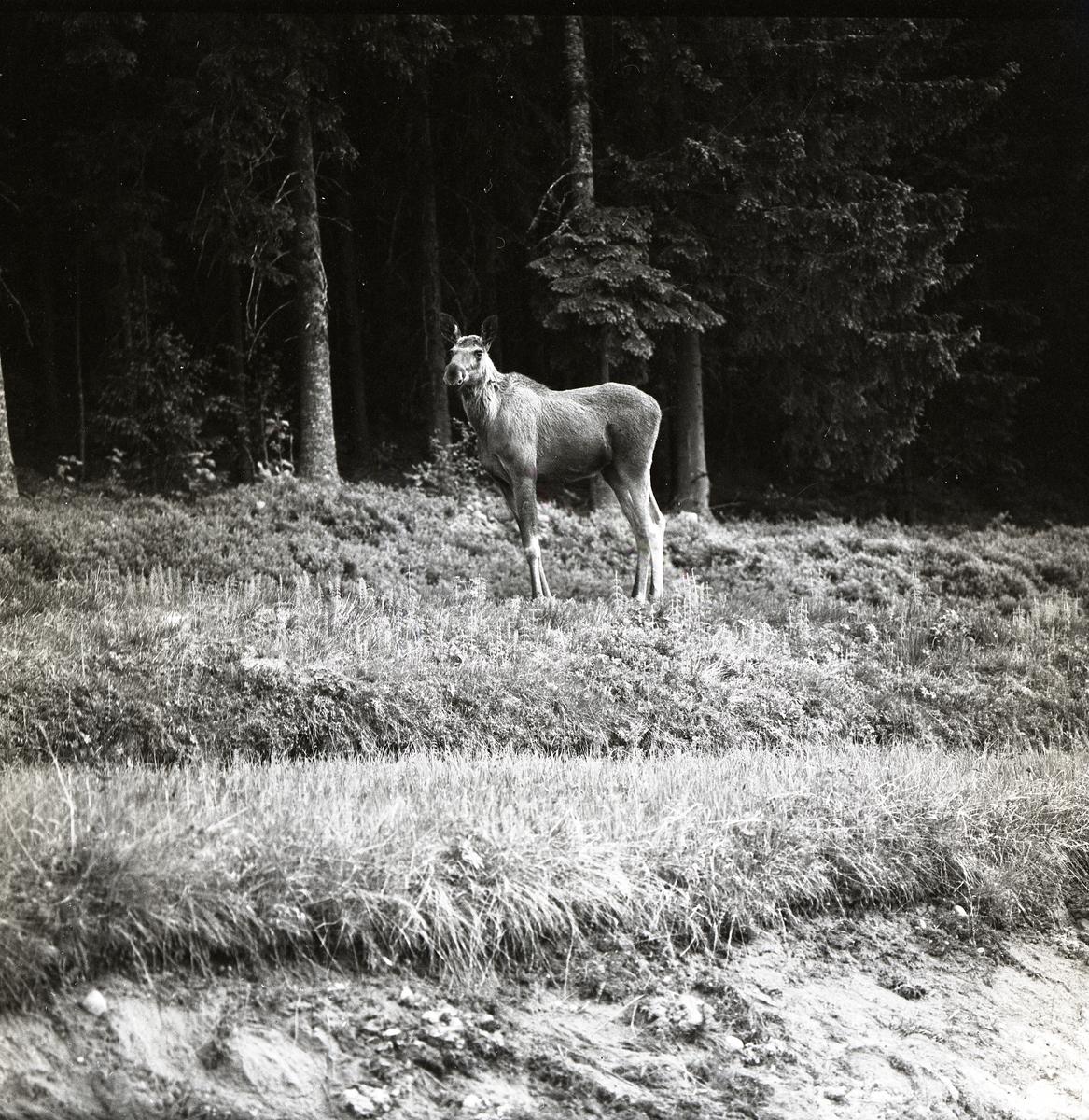 En älgko står på en åker intill en skog i Acktjära, juni 1968.