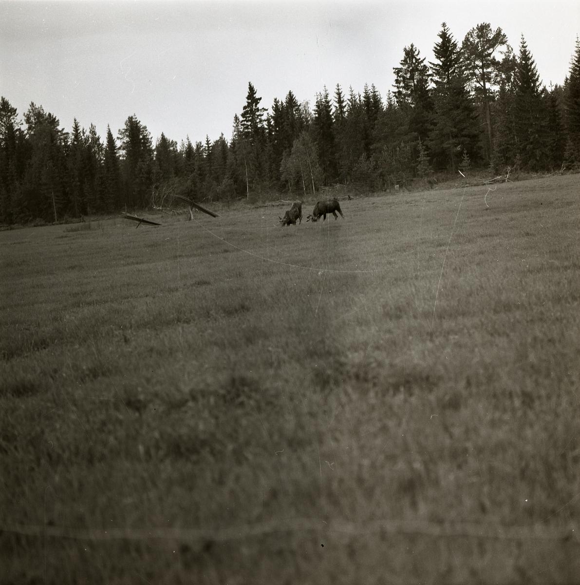 Två betande älgar på en åker intill en skog i Voxnaområdet, 1969.